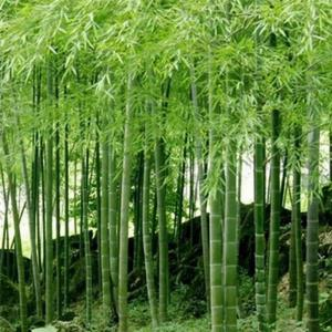 New Picking Bamboo Seeds 100 Capsules -