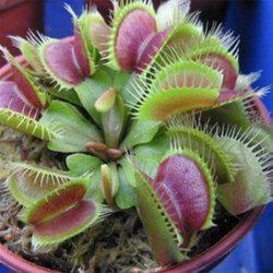 Nepenthes Repellent Grass Seedlings Succulent Seeds -